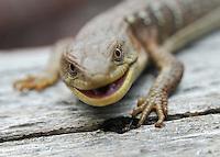 A Northern Alligator Lizard in Washington.