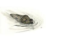 Egel (Erinaceus europaeus), zwemmend