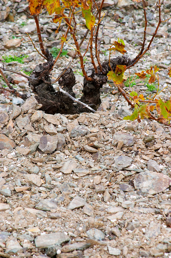 Chateau des Erles. In Villeneuve-les-Corbieres. Fitou. Languedoc. Vines trained in Gobelet pruning. Vine leaves. Old, gnarled and twisting vine. Terroir soil. Spectacular view vista over the hilltop vineyard dominated by shist. France. Europe. Vineyard. Schist slate soil.