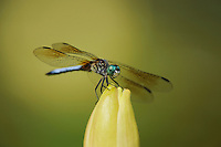 Blue Dasher (Pachydiplax longipennis), male perched on Yellow Waterlily (Nymphaea mexicana), Fennessey Ranch, Refugio, Coastal Bend, Texas Coast, USA