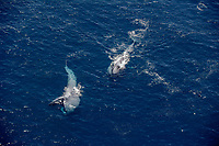 two blue whales, Balaenoptera musculus, endangered, aerial of whales feeding off of San Diego, California, USA, Pacific Ocean