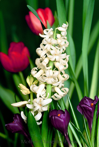 Spring bulbs, white hyacinthus, purple crocus, and red tulips close up, Missouri