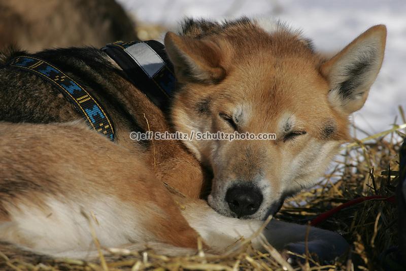 Aily Zirkle's dogs restat the Nikolai checkpoint.  2005 Iditarod Trail Sled Dog Race.