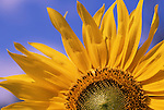 Europe, DEU, Germany, Northrhine Westphalia, Lower Rhine, Sunflower, Blossom, Helianthus annuus....[ For each utilisation of my images my General Terms and Conditions are mandatory. Usage only against use message and proof. Download of my General Terms and Conditions under http://www.image-box.com or ask for sending. A clearance before usage is necessary...Material is subject to royalties. Each utilisation of my images is subject to a fee in accordance to the present valid MFM-List...Contact | archive@image-box.com | www.image-box.com ]