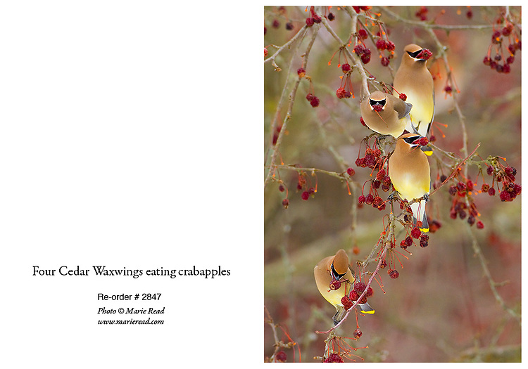 CedarWaxwings4_2847_CARD<br />