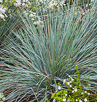 Helictotrichon sempervirens (Blue Oat Grass)  Deer resistant plant (spikey) in California garden with silver gray leaves