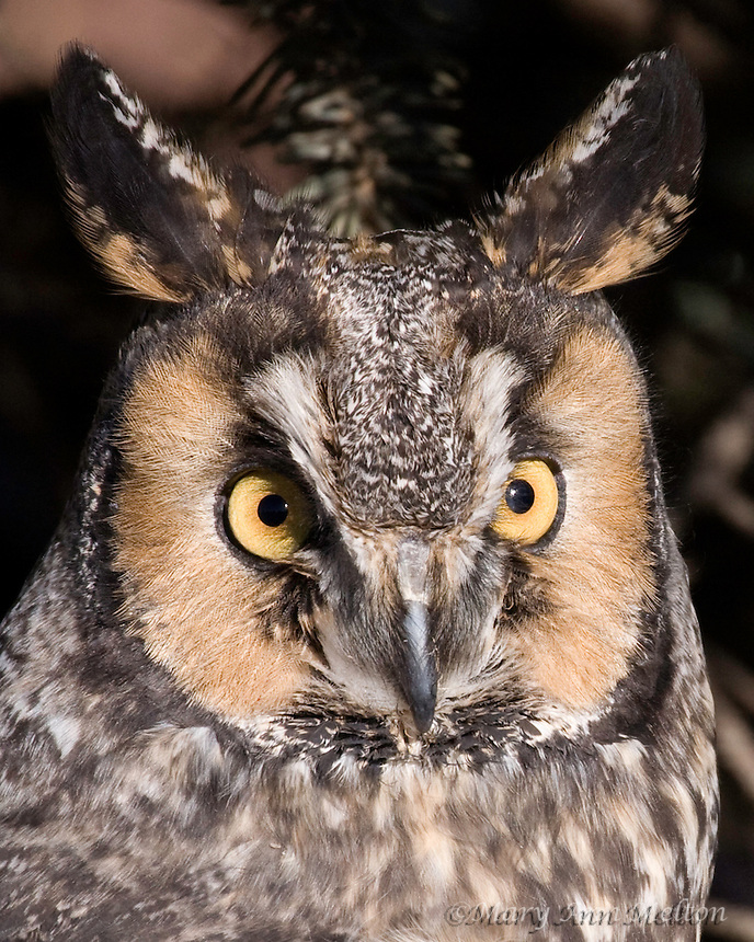 Long Eared Owl, Asio otus, Rocky Mountain Raptor Center