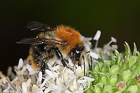 Ackerhummel, Acker-Hummel, Hummel, Bombus pascuorum, syn. Bombus agrorum, beim Blütenbesuch, Nektarsuche, Bestäubung, common carder bee