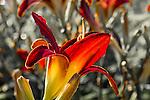 Day lilies at Christopher Columbus Waterfront Park, Boston, Massachusetts, USA