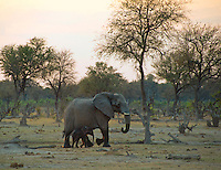 African Elephant Heading out with baby in tow in the early morning to find a good water hole  in the South Luangwa Valley, Zambia Africa.
