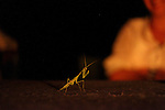 "A praying mantis ""prays"" on the dinner table. Mantises are predatory insects, sometimes preying on mammals as large as rodents."