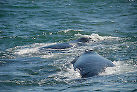Two Southern right whale breaching (Eubalaena australis) - South Africa, South Western Cape, Hermanus