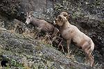 Bighorn sheep ram and ewe during the rut.  Western Montana.