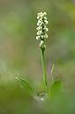 Small White Orchid {Leucorchis albida} growing in alpine meadow at 2000 metres. Nordtirol, Tirol, Austrian Alps, Austria. August.