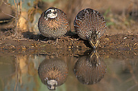 Northern Bobwhite, Colinus virginianus,pair at pond, Starr County, Rio Grande Valley, Texas, USA