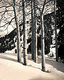 USA, Utah, aspen trees on snowcapped landscape at the base of Alta Ski Mountain (B&W)