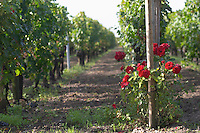 Vineyard. Chateau la Grace Dieu les Menuts, Saint Emilion, Bordeaux, France