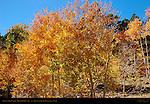Aspens in Fall Color, Boulder Mountain, Grand Staircase Escalante, Utah