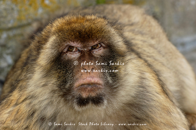 Barbary macaque looking away in annoyance, Gibraltar, UK.