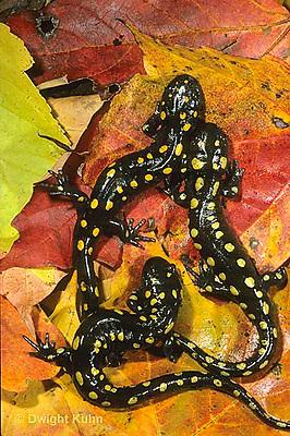 SL01-109x  Salamander - spotted salamander adult on autimn leaves - Ambystoma maculatum