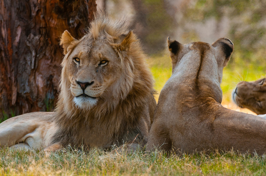 Male and female lions, Lion Park, near Johannesburg, South Africa.