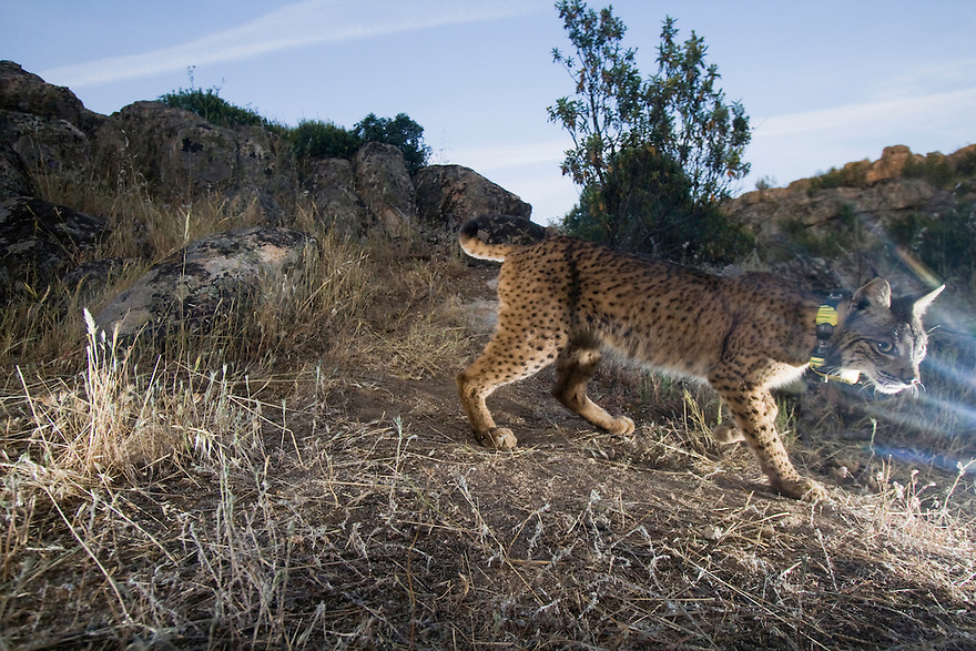 Iberian Lynx female (Lynx pardinus) Sierra de Andujar Natural Park. Sierra Morena. Andalucia. SPAIN