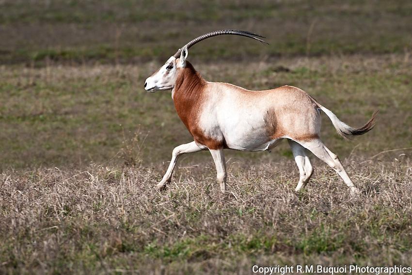 Scimitar Oryx running