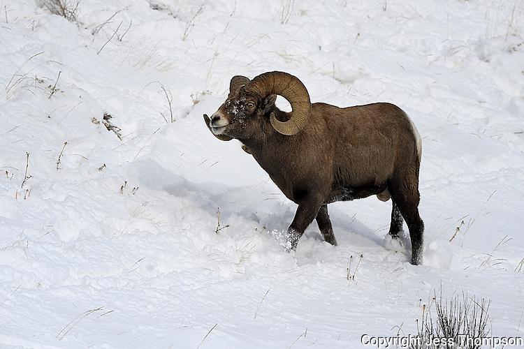 Bighorn Ram, Cody, Wyoming