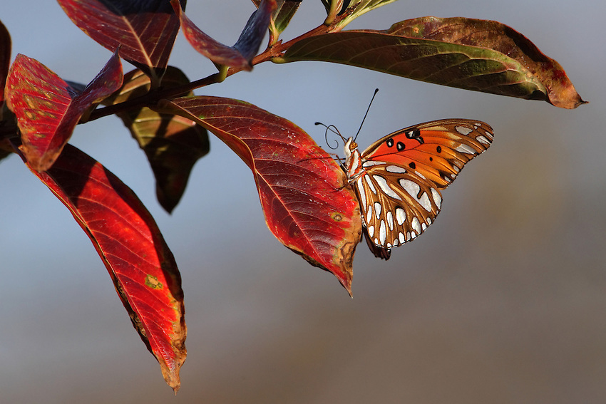 Gulf Fritillary in December, Central Texas. Myrtle Tree leaf perch. Rare to see this butterfly so late in the season..