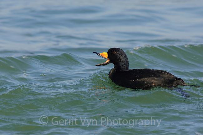 Adult male Black Scoter (Melanitta nigra) vocalizing. Ocean County, Maryland. New Jersey.