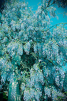 Wisteria Growing On Trellis North Carolina USA By Jonathan Green