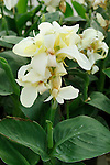 TROPICAL WHITE DWARF CANNA HYBRID