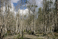 "Forests of dead Melaleuca trees stand in wetland prairies in the Everglades. The invasive tree took over 500,000 acres of South Florida wetlands before restoration began near Lake Okeechobee. South Florida Water Conservation and the Everglades National Park are embarked on the largest wetlands restoration attempted--and the most expensive. <br /> Melaleuca (Melaleuca quinquenervia), of Australian origin, forms a dense monoculture choking out all other plant life as seeds blow across the ""River of Grass."" Melaleuca invasions displace native plants and animals, the tree constitutes a severe fire hazard due to volatile chemicals in its leaves, and attempts to control the weed are very costly on a per area treated basis. The management manual removal of saplings), physical methods (prescribed burns and water level management), and biological control. Chemical, physical and mechanical methods are currently being employed, with limited success and various constraints on their practicality."