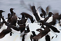 Norway, Svalbard, Brünnich's guillemots (Uria lomvia) on ice floe