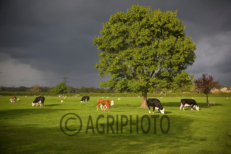 Storm clouds gather over cattle grazing