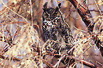 Great Horned Owl perched in a tree.