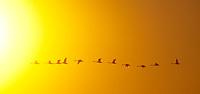 Trumpeter Swans, Washington
