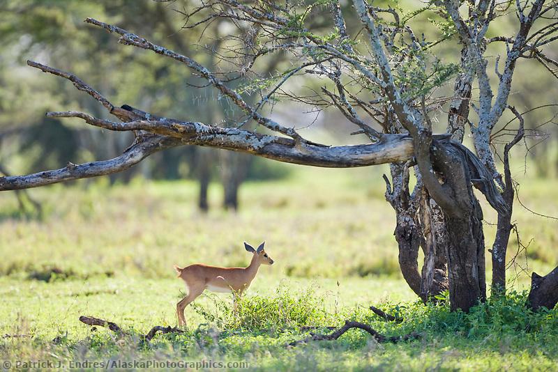 Gazelle, Serengeti National Park, Tanzania, East Africa