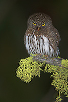 A Northern Pygmy-Owl, Glaucidium gnoma, sizes up potential prey in the Central Cascades of Yakima County, Washington.
