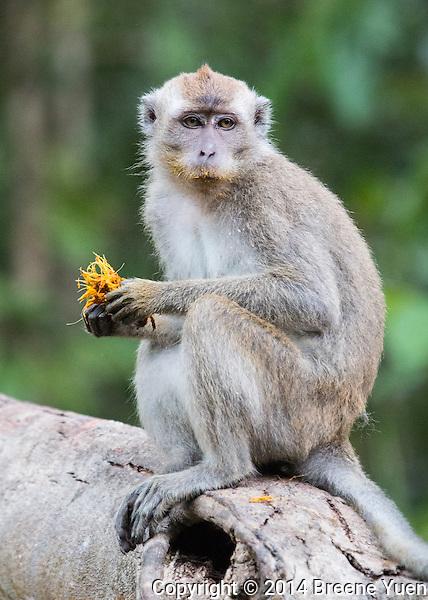 Borneo Macque Eating