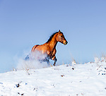 Horses running in snow, Central Montana