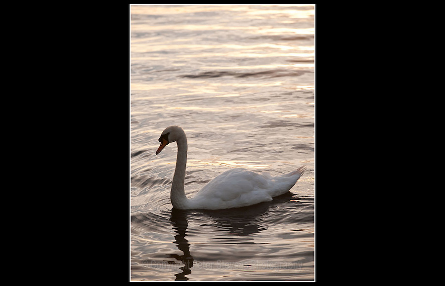 Mute Swan (Cygnus olor) - Lough Gill, Ireland - 25th August 2010