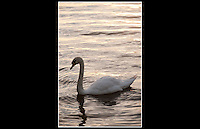 Mute Swan (Cygnus olor) - Lough Gill, Ireland - 25th August 2010