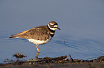 Killdeer, Charadrius vociferus, wading at waters edge, Canada, medium-sized plover, uses broken-wing act to distract predators from their nests