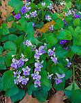 Devil's Lake State Park, WI<br /> Common Blue Violets (Viola papilionacea)