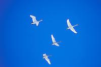 B5955  Trumpeter Swans (Cygnus buccinator) on fall migration, Western U.S., November.