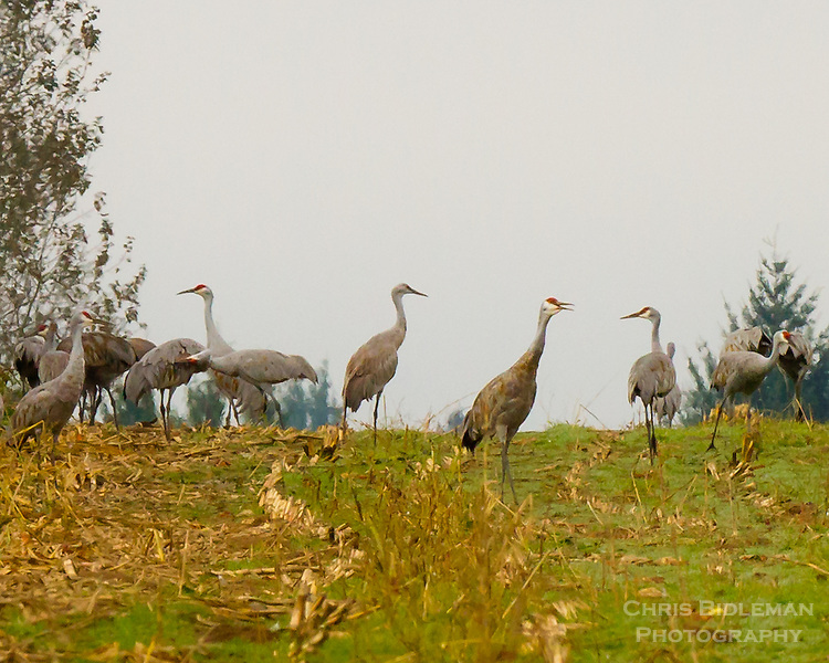 A herd of Sandhill Cranes (Grus canadensis) are in a cut down corn field during their migration stop over in the Ridge Field National Wildlife Refuge area against a gray sky day.