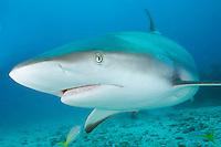 Caribbean Reef Shark (Carcharhinus perezi). St Maarten, Caribbean Sea.