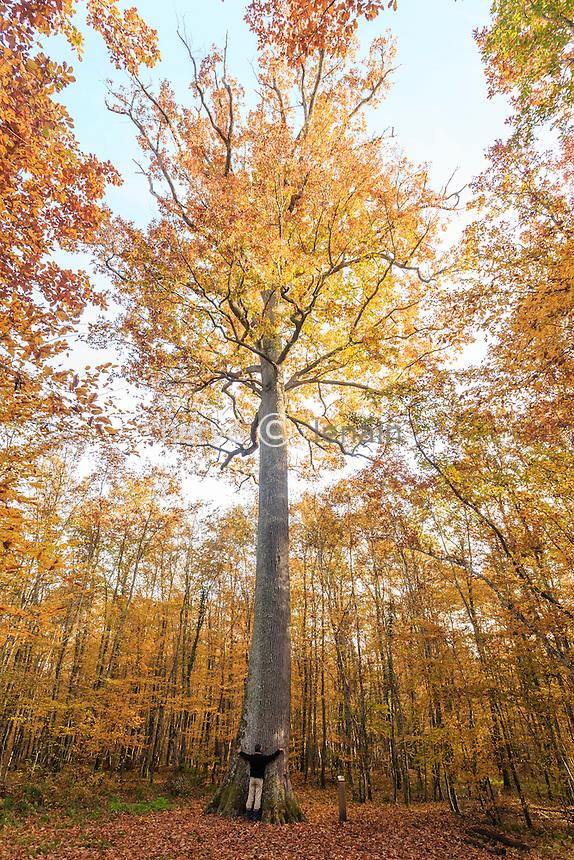 France, Allier (03), forêt de Tronçais, Saint-Bonnet-Tronçais, le chêne sessile Stebbing en automne, arbre remarquable, le plus belle arbre de la forêt d'un point de vue forestier // France, Allier, Tronçais forest, Saint Bonnet Troncais, remarkable oak Stebbing fall