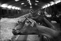 Europe/France/Poitou-Charentes/79/Deux-Sèvres/Villemain: Fromagerie à la ferme de Paul Gorgelet: Le Petit Boisselage -La Chèvrerie -  Chèvres
